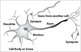 Biological Neuron